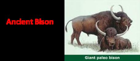 Paleo Bison